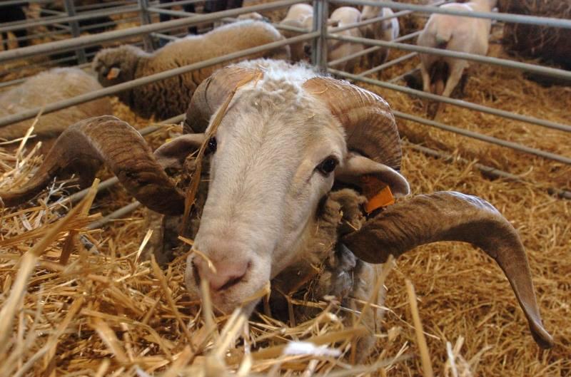 ovelhas e transumância_n